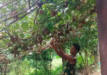 डोटीमा किबी खेतीतर्फ आकर्षण, आम्दानी बढ्दा किसान खुसी
